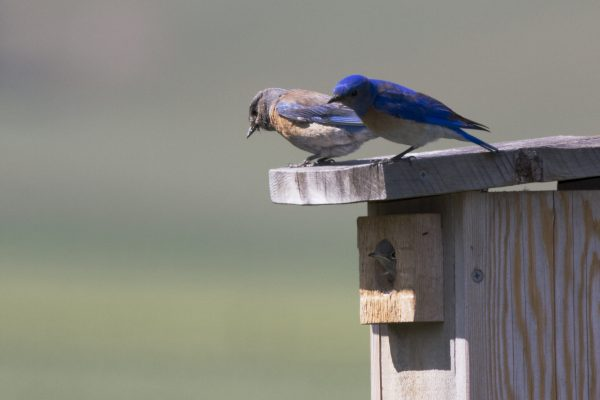 Western Bluebird parents coaxing the last fledgling from the nest