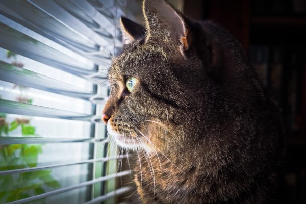 Cat looking through window blinds