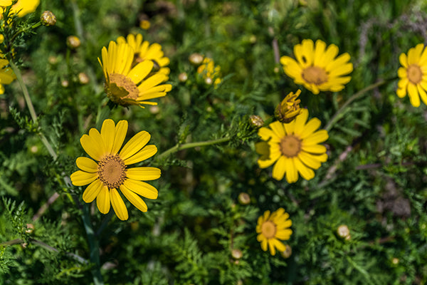African yellow daisies