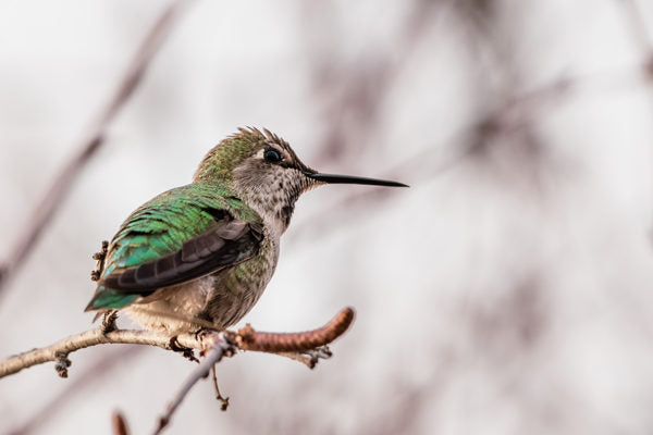 Hummingbird perched on tree branch
