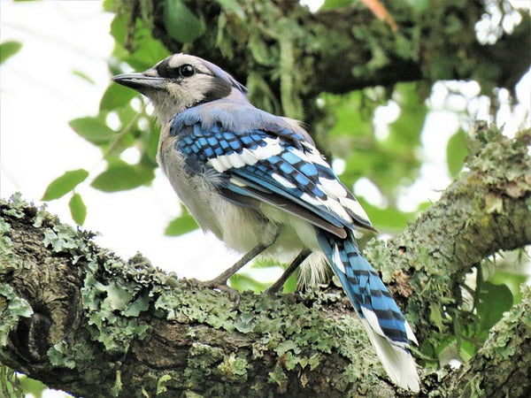 Blue jay on mossy tree branch