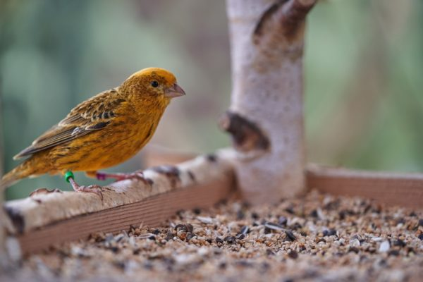A canary bird perched on a tray bird feeder filled with birdseed.