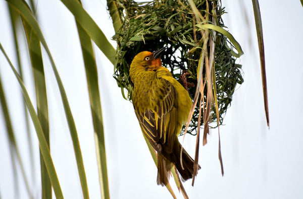 Weaver Bird and its Nest