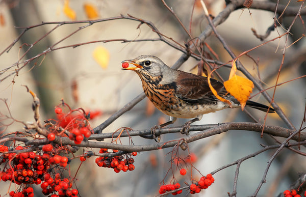Bird eating berries from a tree