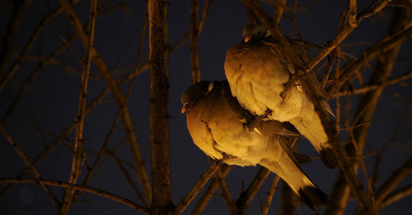 Two birds in tree at night