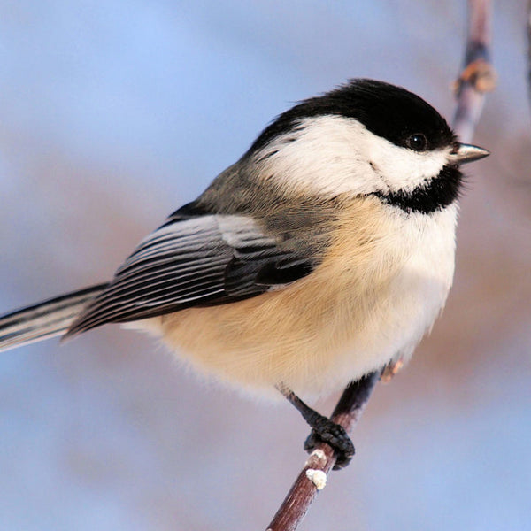 Close-up of a black-capped chickadee perched on a twig.