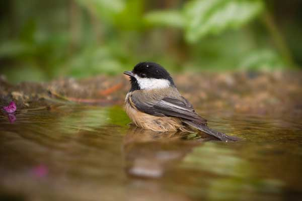 Black-capped Chickadee sitting in the water of a small bath.
