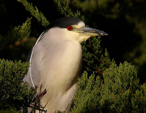 Black-crowned Night-Heron in a tree shrub.