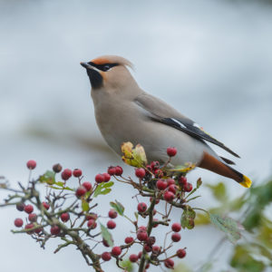 Bohemian waxwing perched on berry bush