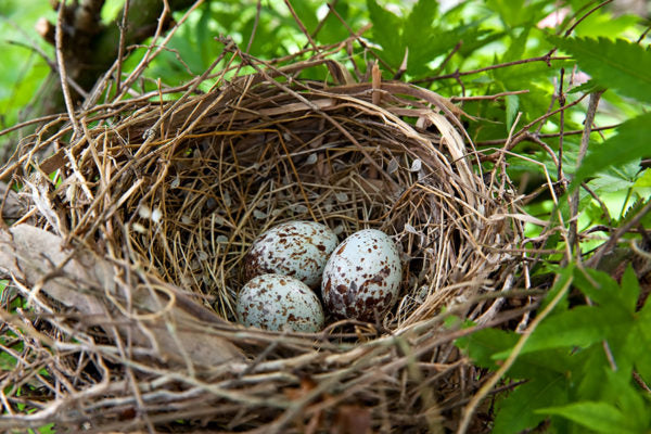 Three speckled bird eggs in a nest surrounded by green leaves