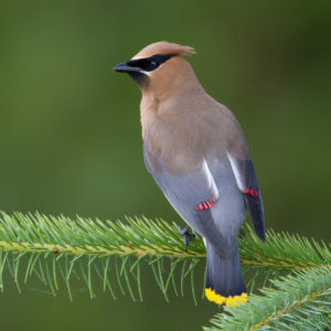 Cedar waxwing perched on pine branch
