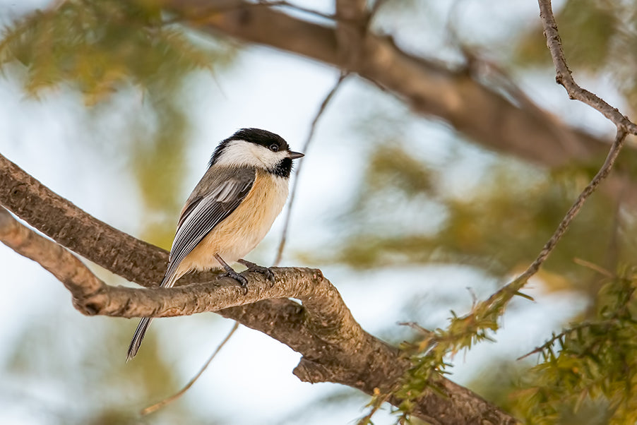 Chickadee perched on a tree branch