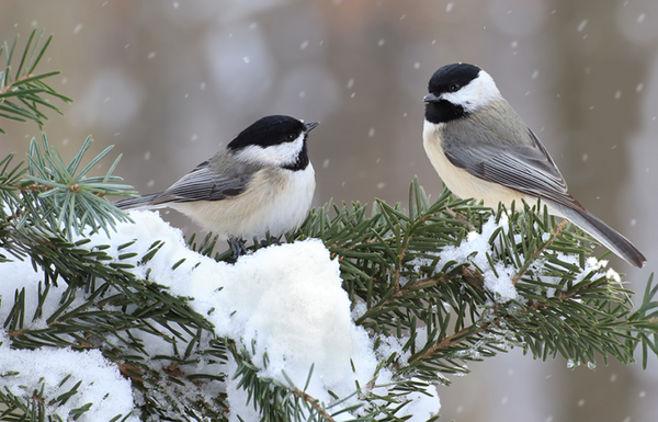 Chickadees on a pine branch in winter
