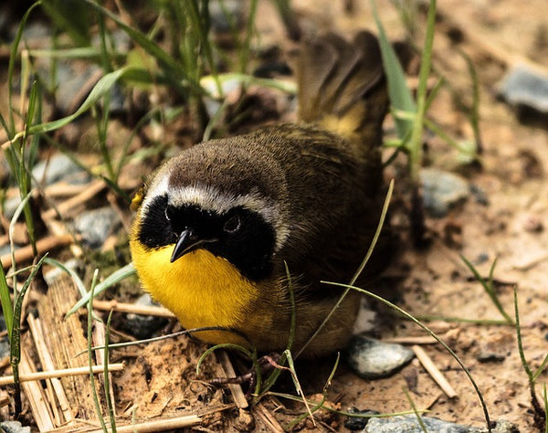 bird with yellow throat on ground