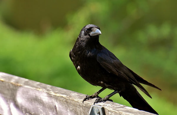 Raven perched on fence
