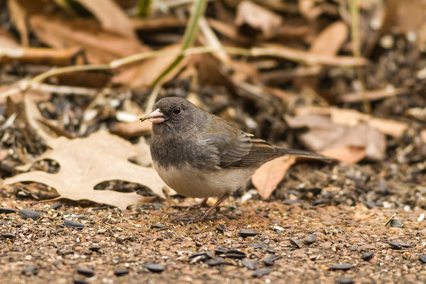 Dark-eyed junco feeding on the ground