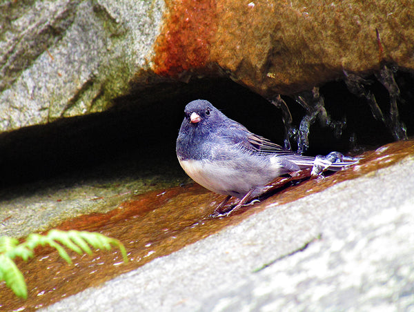 Dark-eyed junco sitting in water