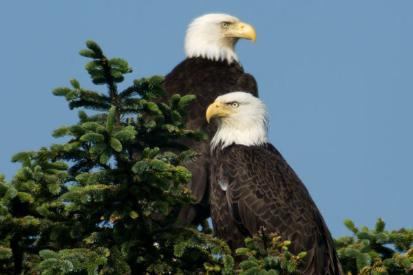 Bald Eagle pair resting, preening, and scouting the horizon for food.