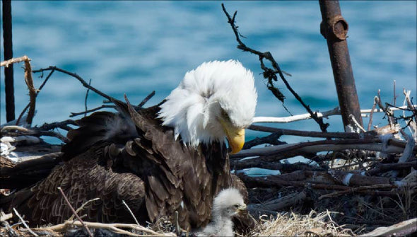 Bald eagle and chick in nest