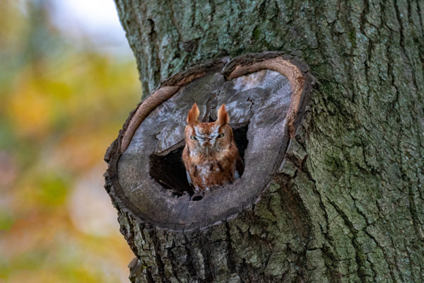 Eastern Screech Owl inside tree