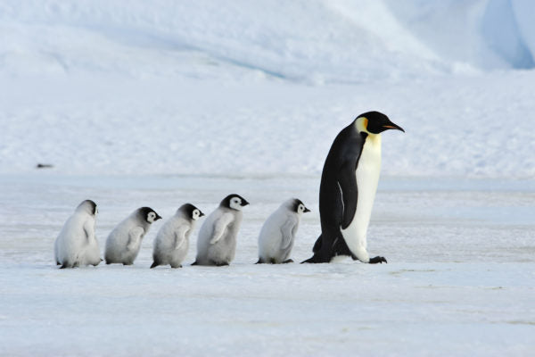 Adult and infant penguins walking in a line