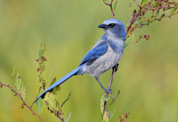 Blue bird perched on a small branch