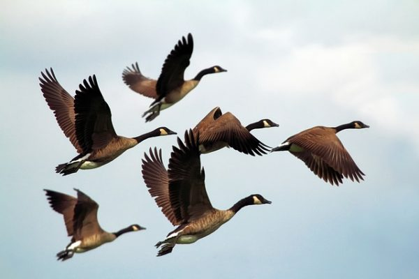 several geese flying