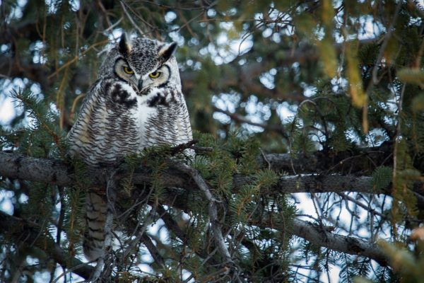 Great Horned Owl in tree branch.
