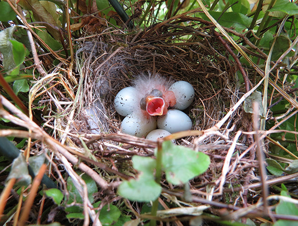 Hatchling purple house finch