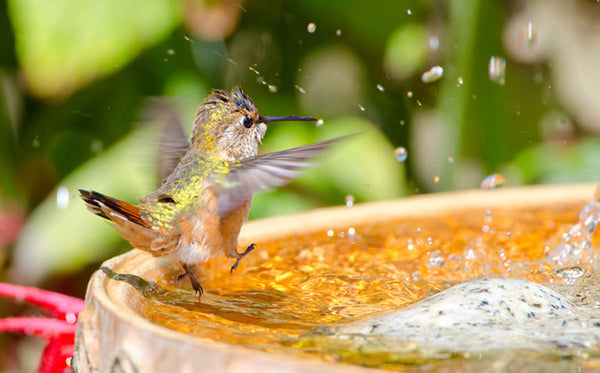 Hummingbird enjoying a shallow bird bath