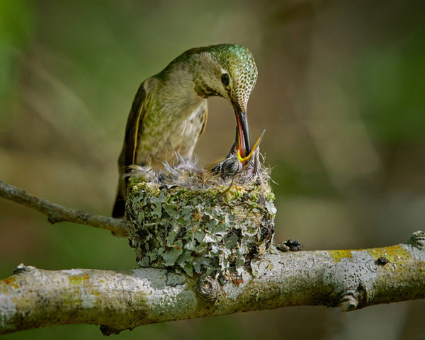 Hummingbird and its chick at the nest