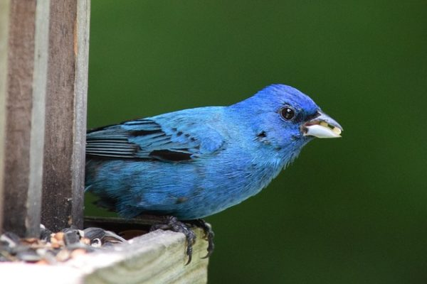 blue bird eating seeds