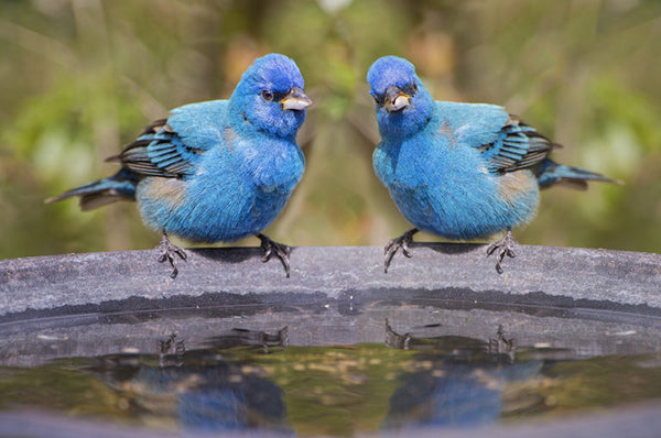 Indigo Buntings enjoying a birdbath