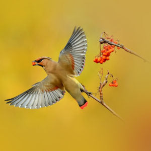Japanese waxwing bird flying off a branch