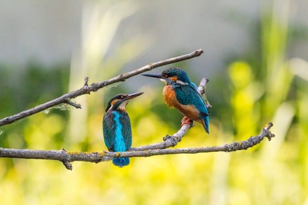 pair of kingfisher birds perched on branch