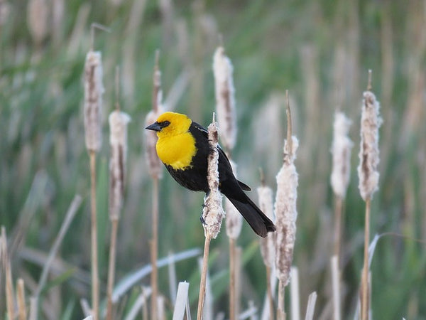 Male Yellow-headed Blackbird