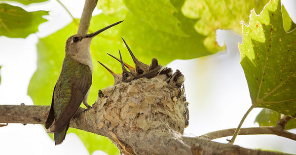Hummingbird and its chicks at the nest