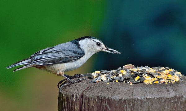 nuthatch bird eating seed