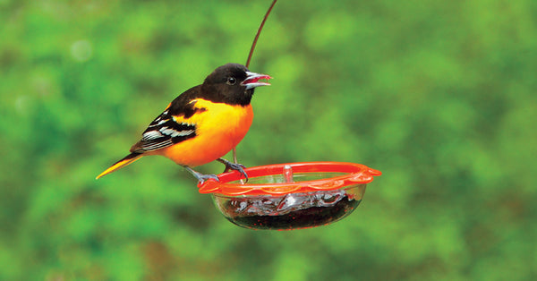 Baltimore oriole enjoying a dish of jelly from a Droll Yankees bird feeder
