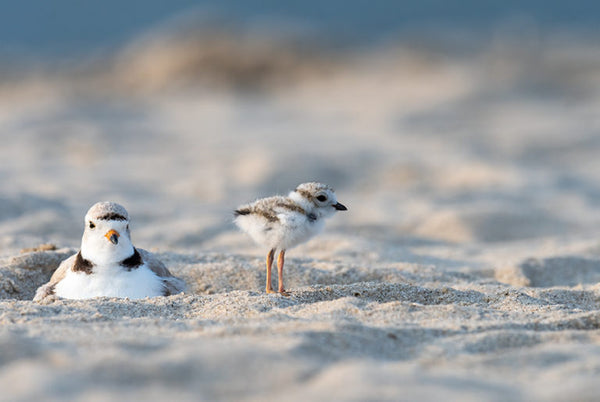 A hatchling Piping Plover and its mother on the beach