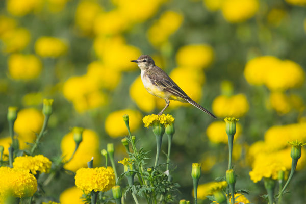 American Pipit perched on a marigold in a field of marigolds