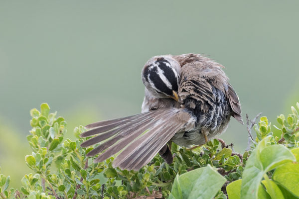 White-crowned Sparrow preening and touching oil gland while perched on green shrub