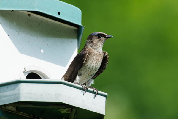 purple martin perched at bird house