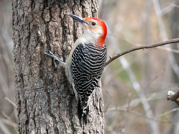 woodpecker on tree