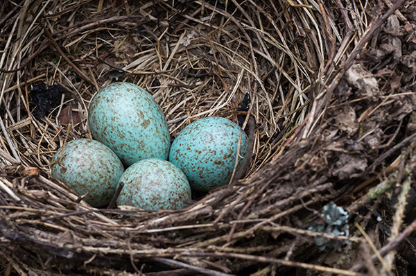Blue jay eggs in a nest