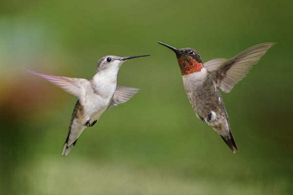Male and female ruby-throated hummingbirds