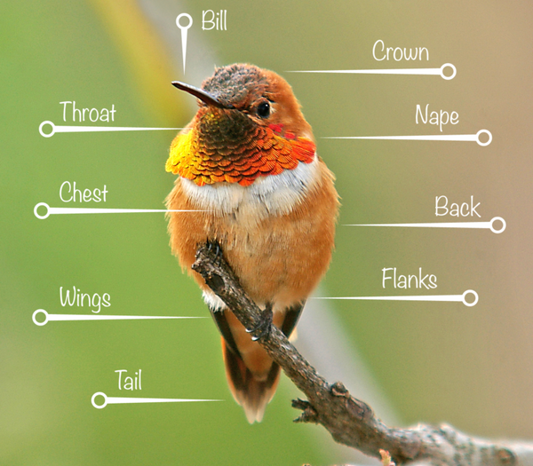A Rufous Hummingbird perched on a tree branch with body part indicators and details.