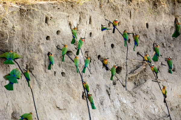 Colorful birds with nest dug into the side of a ridge