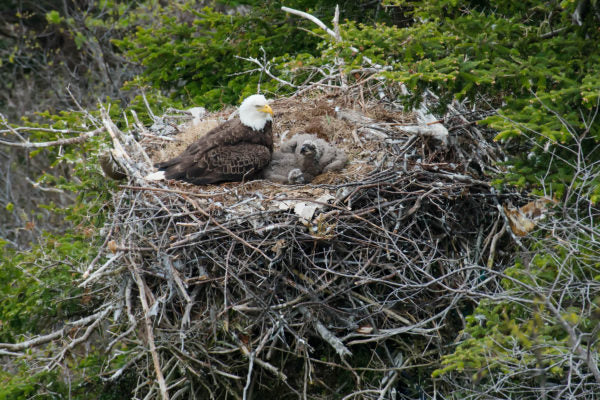 Bald eagle and chicks in nest