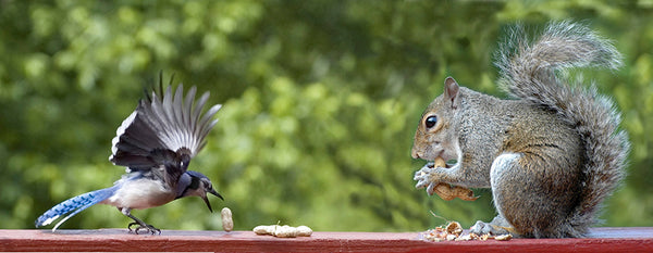 Squirrel and blue jay eating peanuts